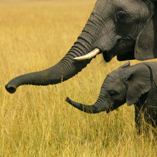 Elephant mother and her baby in the savannah, Rift Valley Province, Maasai Mara, Kenya