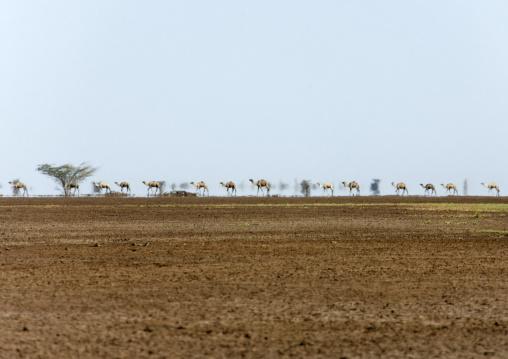 Camels caravan in the desert, Marsabit County, Chalbi Desert, Kenya