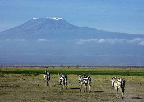 Zebras walking in line in front of kilimanjaro, Kajiado County, Amboseli park, Kenya