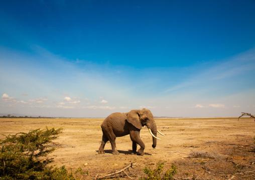 Elephant in the savannah, Kajiado County, Amboseli park, Kenya