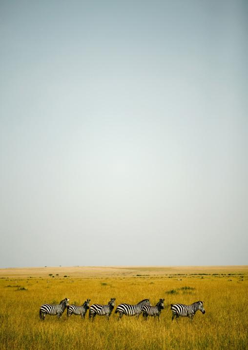 Burchell's Zebras in the savannah, Rift Valley Province, Maasai Mara, Kenya