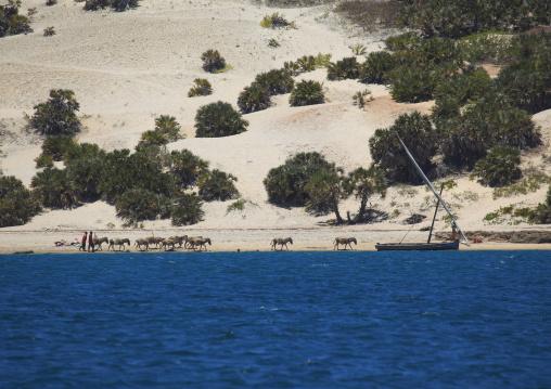 Dhow sailing along the coast, Lamu County, Shela, Kenya