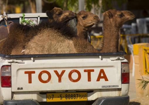 Camels in a toyota car, Tripolitania, Ghadames, Libya