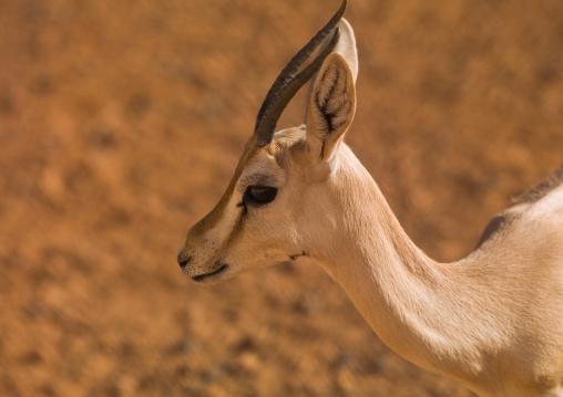 North african gazelle in the desert, Tripolitania, Ghadames, Libya