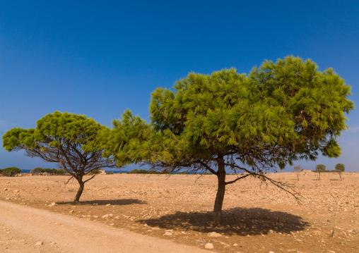 Pine trees along a road, Cyrenaica, Ptolemais, Libya