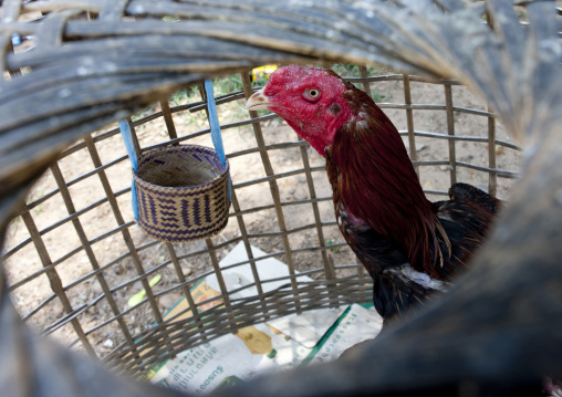 Fight rooster, Pakse, Laos