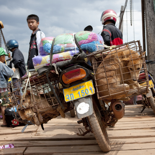 Dogs for restaurant in cages a motobike phonsaad, Laos