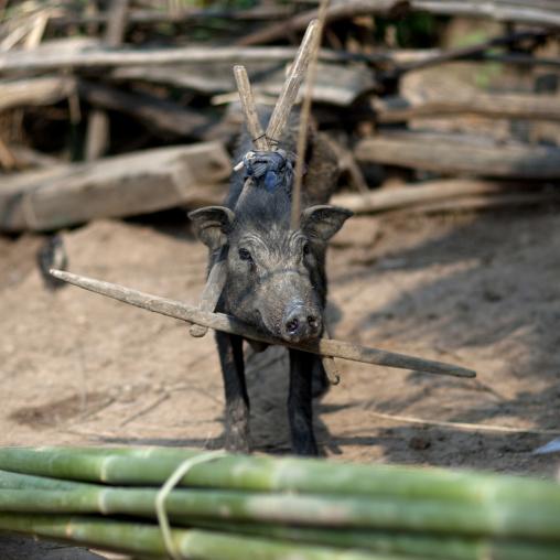 Pig with a wood collar, Muang sing, Laos