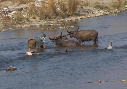 Men Washing Buffalos In A River, Mindat, Myanmar