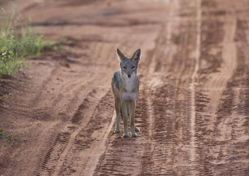 Black Backed Chacal, Okonjima, Namibia