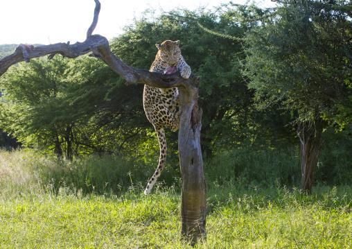 Wild African Leopard In Tree, Okonjima, Namibia