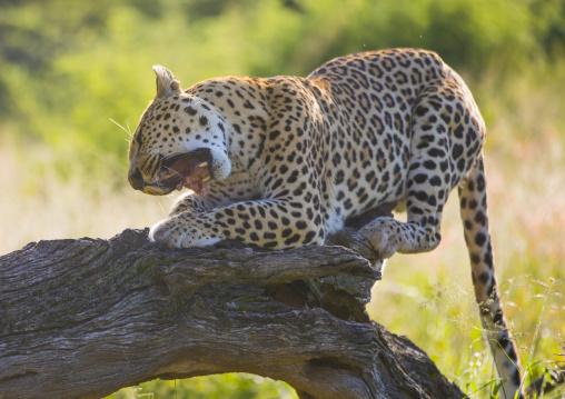 Wild African Leopard Eating Meat In Tree, Okonjima, Namibia