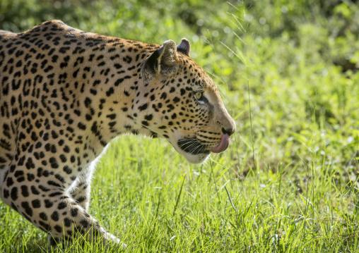 Wild African Leopard, Okonjima, Namibia