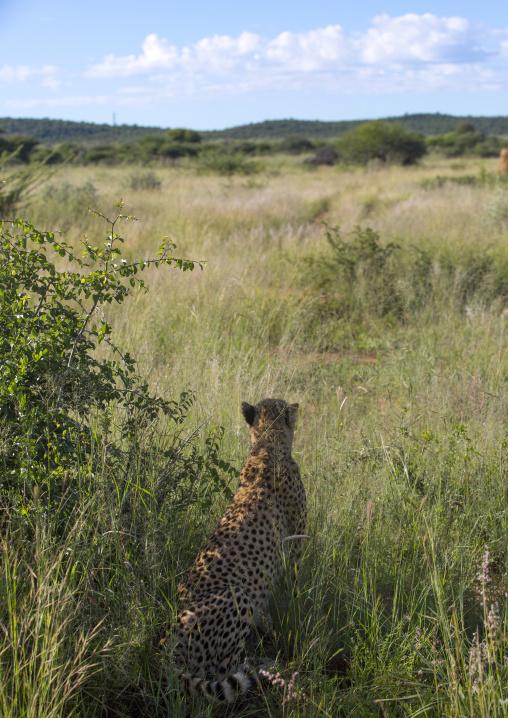 Cheetah Looking Away In The Savanna, Okonjima, Namibia