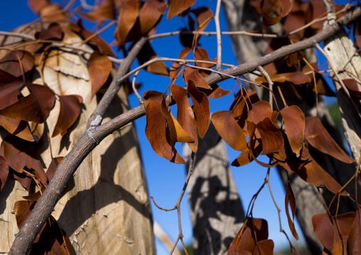 Mopane Dried Leaves, Ondangwa, Namibia