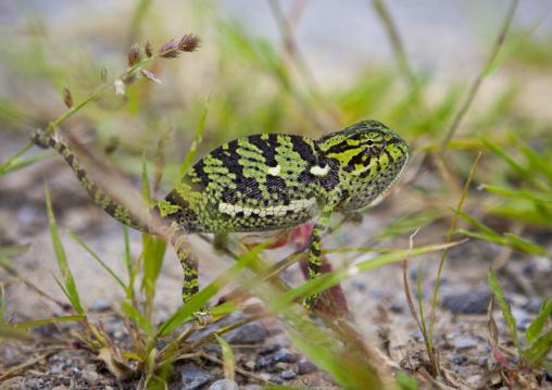 Chameleon, Tsumkwe, Namibia