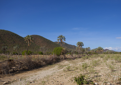 Palms Trees In An Arid Landscape, Epupa, Namibia