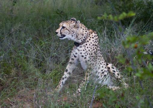 Collared Cheetah, Africat Foundation, Okonjima, Namibia