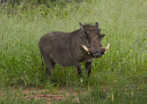 Warthog, Okonjima, Namibia