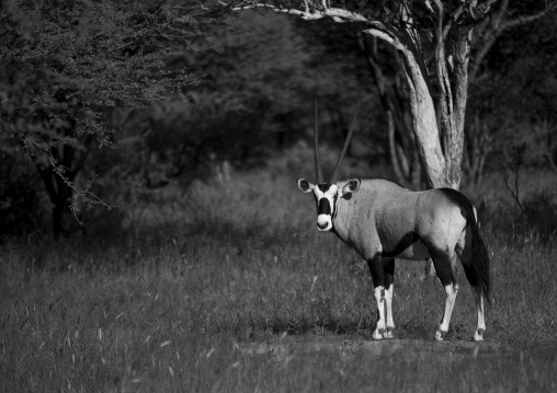 Oryx, Okonjima, Namibia