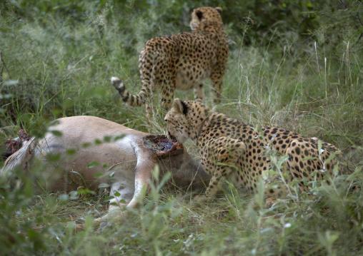 Collared Cheetahs Eating, Africat Foundation, Okonjima, Namibia