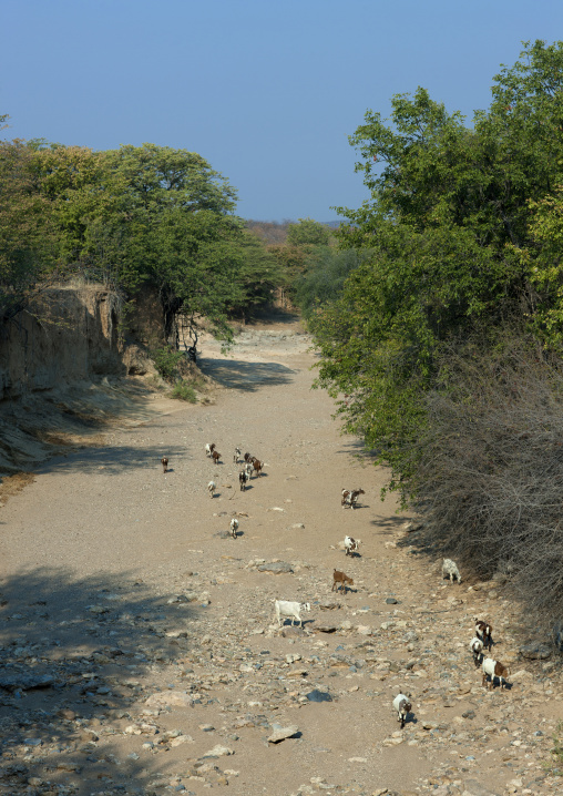 Herd Of Goats In A The Bed Of A Dried Out River, Opuwo, Namibia