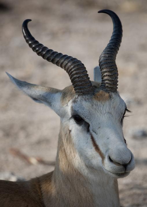 Springbok In Etosha National Park, Namibia
