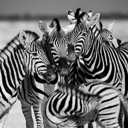 Zebras, Etosha, Namibia
