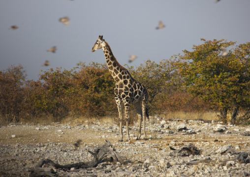 Giraffe Surended By Birds, Etosha, Namibia