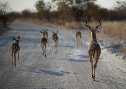 Herd Of Impalas, Etosha National Park, Namibia