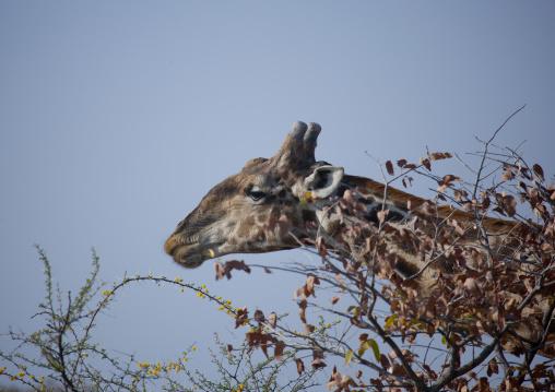 Giraffe In Etosha National Park, Namibia