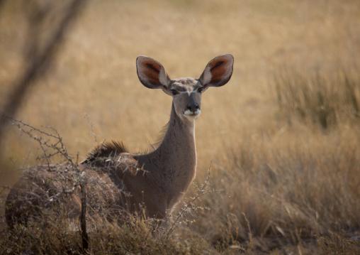 Kudu In Etosha National Park, Namibia