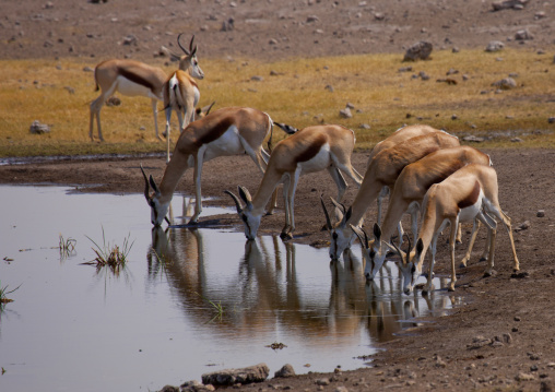 Springboks Drinking At A Watering Place,  Etosha National Park, Namibia