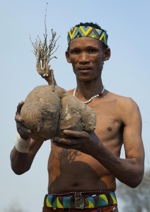 San Man Showing A Water Tuber, Namibia