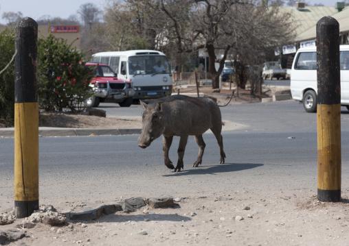 Warthog In The Streets Of Katina Mulilo Village, Caprivi Region, Namibia