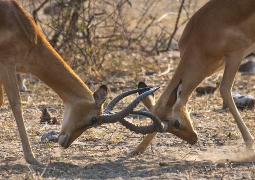 Springbocks Fighting, Etosha, Namibia