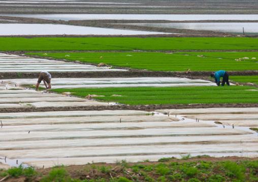 North Korean farmers working in a field, South Pyongan Province, Chongsan-ri Cooperative Farm, North Korea