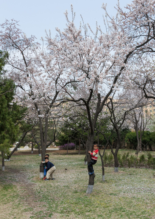 North Korean children playing in cherry blossoms trees in a park, Pyongan Province, Pyongyang, North Korea