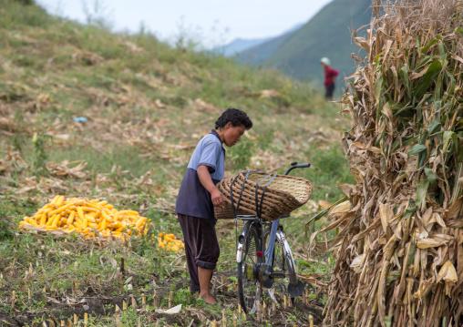 North Korean woman harvesting corns in a field, South Hamgyong Province, Hamhung, North Korea