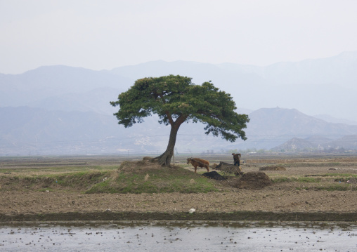 North Korean peasant with his ox cart working under a tree, Kangwon Province, Wonsan, North Korea