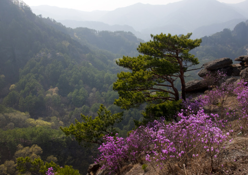 Pine trees forest and flowers in inner Chilbo hills, North Hamgyong province, Chilbosan, North Korea