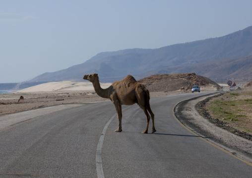Camel Crossing The Road, Mirbat, Oman