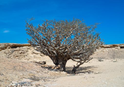 Frankincense tree, Dhofar Governorate, Wadi Dokah, Oman