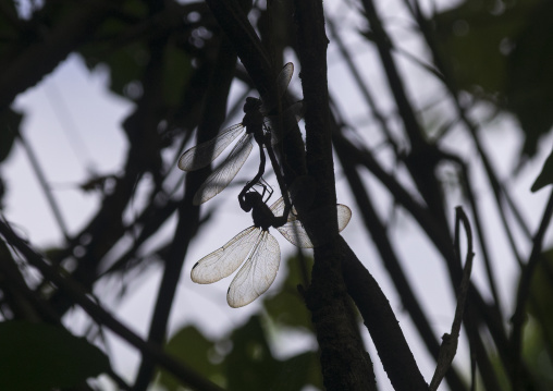 Panama, Darien Province, Filo Del Tallo, Dragonflies Pair Mating On A Stalk In Filo Del Tallo