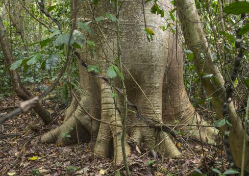 Panama, Darien Province, Filo Del Tallo, Cuipo Giant Tree In Filo Del Tallo