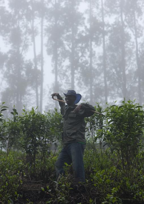 Man in a tea plantations, Nyungwe Forest National Park, Gisakura, Rwanda