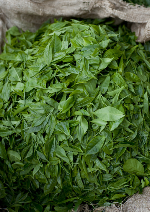 Fresh tea leaves, Western Province, Cyamudongo, Rwanda