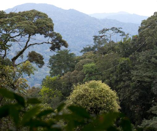 Uwinka canopee forest, Nyungwe Forest National Park, Uwinka, Rwanda