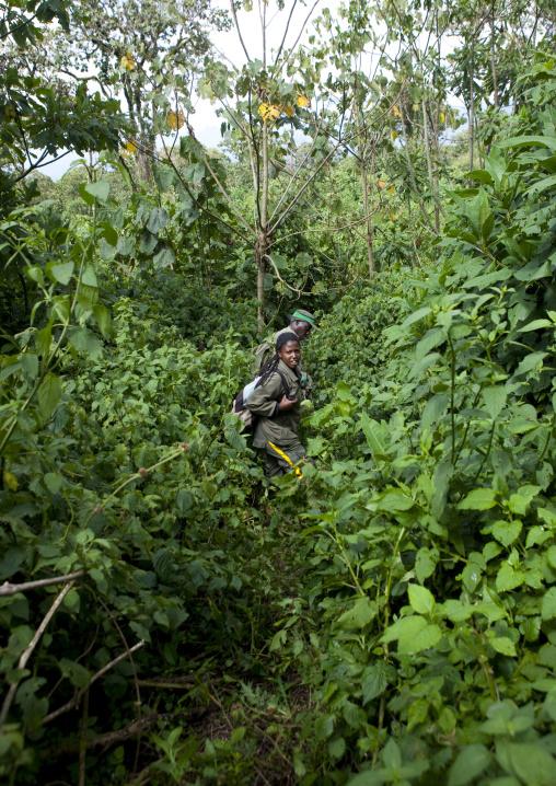 Guide in the jungle of the volcanoes national park, Northwest Province, Rehengeri, Rwanda