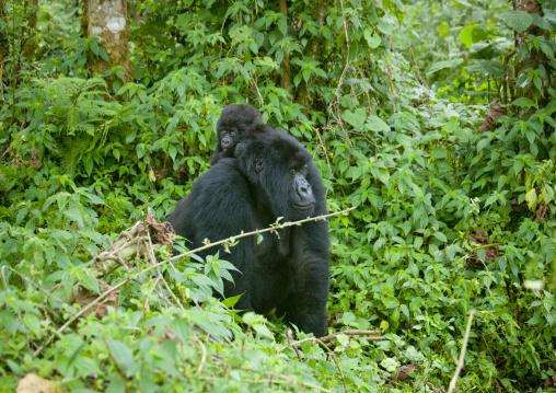 Gorilla in the jungle of the volcanoes national park, Northwest Province, Rehengeri, Rwanda